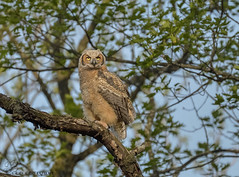 Great Horned Owlet (39) (Estrada77) Tags: owlet greathornedowl owl raptors birdsofprey distinguishedraptors birds birding wildlife spring2019 may2019 outdoors illinois animals nature nikon nikond500200500mm