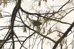 Golden-winged Warbler (vermivora chrysoptera) (mrm27) Tags: newyork newyorkcity usa centralpark vermivora vermivorachrysoptera warbler goldenwingedwarbler
