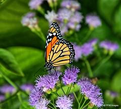 Monarch (pandt) Tags: monarch butterfly naples florida outdoor nature flowers naplesbotanicalgardens macro green orange black purple canon eos 6d slr flickr beauty