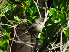 Female Bushtit. Inglewood, Ca. (stonebird) Tags: bushtit americanbushtit psaltriparusminimus inglewood ca female img0325