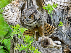 Great Horned Owl Female with Prey (William Jobes) Tags: greathornedowl owl bubovirginianus raptor prey birdofprey