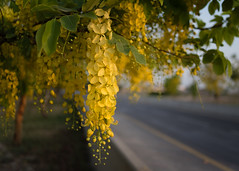 Blooming Amaltas. With Carl Zeiss Distagon 35mm f2 (Shakil_Ahmad) Tags: carlzeiss distagon 35mmf2 amaltas blooming flowers yellows manualfocus