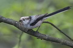 Long-tailed Tit (Aegithalos caudatus), Haghpat, Armenia (Gil Ewing) Tags: aegithalidae