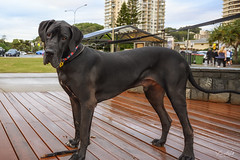 That's Sir Winston to you! (BAN - photography) Tags: canine dog greatdane deck beachfront burleighheads z9
