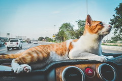 Chester on the Car Dashboard (Zelle Manzano) Tags: cat pet animal kitty catmoments animalphotography car dashboard cute adorable matte orange orangeandwhitecat chester meow catlover livelycat catdreaming stripes travel travelphoto traveladdict travelphotography cattravels catadventures souththailand thailand thailandtravels dslr nikon nikond5600 nikoncamera nikondaily