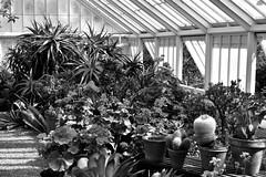 Black white and green house. (Hidden in the flash.) Tags: blackandwhite bw mono monochrome greenhouse felbrigg nt norfolk plants flowers nikon d3400