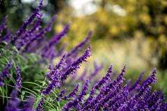 Lavender Flower (Photos By Dlee) Tags: sonyalphaa7iii sonya7iii sonya73 sony sonyalpha mirrorless fullframe fullframemirrorless tamron2875mmf28diiiirxd tamron zoom tamron2875mmf28 photo photosbydlee photography australia sydney newsouthwales nsw autumn flower purple lavender nature