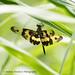 Rhyothemis variegata arria