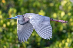 Tricolor Heron Inflight (dbadair) Tags: outdoor nature wildlife 7dm2 7d ii ef100400mm canon florida bird bif flight