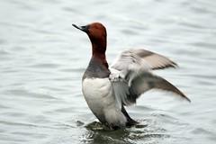 Pochard (oddbodd13) Tags: bird waterfowl duck pochard