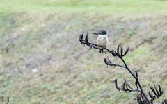 Sacred Kingfisher (tracetam_travels) Tags: newzealand newzealandsouthisland tttravels wildlife bird rosscreekreservoir dunedin kingfisher sacredkingfisher