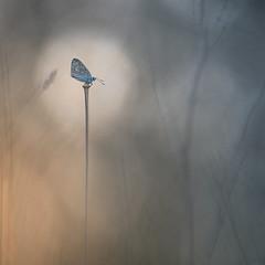 BLUETONES (www.neilburnell.com) Tags: blue colour pastel minimal wildlife macro closeup butterfly ngc