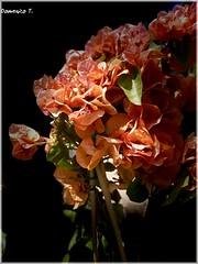 Buganvillea (Domenico T) Tags: leaves petali flowers buganvillee