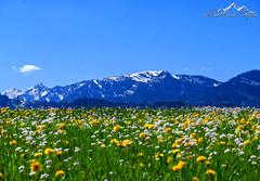 Heimatliebe (BilderbuchAllgäu Hippmann) Tags: landschaft bilderbuchallgäu allgäu heimat natur alpen berge mountains alps blumen wiese aussicht himmel wolken