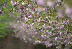 八重桜 (edo420) Tags: d5 500mmf56 pflens pfレンズ 桜 cherry 花 flower 成田 narita japan