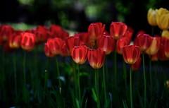 flower 1762 (kaifudo) Tags: sapporo hokkaido japan maruyamapark flower tulip 札幌 札幌市 北海道 円山公園 チューリップ nikon d5 nikkor afs 70200mmf28gedvrii 70200mm