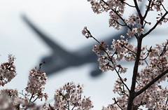 VQ-BIL (edo420) Tags: d5 500mmf56 pflens pfレンズ cherry 桜 flower 花 成田 narita vqbil chiba 千葉 japan