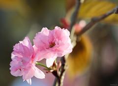 cherry blossoms (Christine_S.) Tags: macro sunset japan spring pink canon m5 ef100mm eos ボタン桜 sakura ヤエザクラ 八重桜 flowers blossoms garden nature park closeup bokeh ngc カンザン 関山 prunuslannesianasekiyama npc