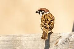 Pilfink_IMG_0833 Passer montanus (anders arman) Tags: pilfink passermontanus eurasiantreesparrow treesparrow sparrow bird fågel öland kastlösa sweden wildlife natur nature