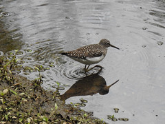 Solitary Sandpiper - Stepping Out (annette.allor) Tags: bird pond nature wildlife solitary sandpiper