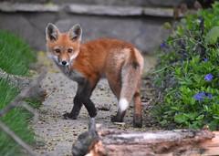 Fox kit (Peter Granka) Tags: redfox fox foxkits