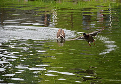 Next Goose Chase 2 (MTSOfan) Tags: egyptiangoose duck mallard chase territory lvz