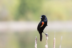 Red-winged blackbird (t s george) Tags: redwingedblackbird bird nature wildlife color beauty spring greatmeadowwildliferefuge concordma canon6dmarkii canonef100400mm bokeh