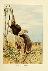 n184_w1150 (karadogansabri) Tags: zoology smithsonianlibraries bhl:page=33270298 dc:identifier=httpbiodiversitylibraryorgpage33270298 elephant artist:name=friedrichwilhelmkuhnert artist:viaf=35212410 bhlelephant bhlig taxonomy:common=africanbushelephant mammals taxonomy:binomial=loxodontaafricana author:name=richardlydekker zoologysmithsonianlibraries
