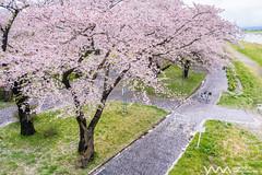 北上展盛櫻 Kitakami Sakura / Iwate, Japan (yameme) Tags: 日本 japan sony a7iii a73 alpha evil mirrorless travel 旅行 tohoku 東北 emount 岩手 北上 iwate kitakami 北上展勝地 櫻花 櫻 sakura cherryblossoms 花 flowers nature zeiss 蔡司 fe1635mmf4za