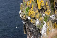 Birds nest, Northern Irland (KronaPhoto) Tags: irland 2019 vår birds birdnest nest fugler rede måker seagull coast seaside seascape landscape water travel