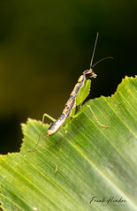 Mantis nymph (F.Hendre) Tags: mantis insect prayingmantis nymph odontomantisnymph