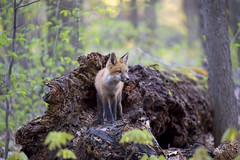 Fox kit on log (Jim Cumming) Tags: redfox fox nature wildlife spring forest canada log tree moss kit morning sun