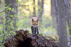 Fox kit walking on fallen tree (Jim Cumming) Tags: redfox fox nature wildlife spring forest canada log tree moss kit morning sun