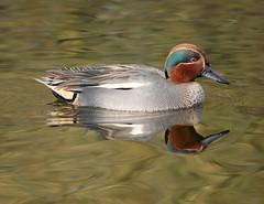 Teal (PhotoLoonie) Tags: teal eurasianteal duck waterbird wildlife nature