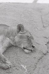 Lion 2 (adam_h_photo) Tags: halfframe olympuspenft monochrome film filmphotography 35mm analogue analog photofilmy ishootfilm istillshootfilm blackandwhite lion