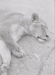 Lion 1 (adam_h_photo) Tags: halfframe olympuspenft monochrome film filmphotography 35mm analogue analog photofilmy ishootfilm istillshootfilm blackandwhite lion