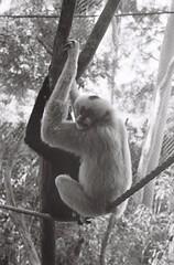 Gibbon (adam_h_photo) Tags: halfframe olympuspenft monochrome film filmphotography 35mm analogue analog photofilmy ishootfilm istillshootfilm blackandwhite