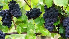 Vid y ramas (marreroperaltatalia) Tags: labiblia estudiosbiblicosprofundos vidyramas uva