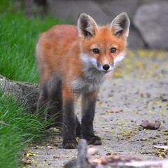 The look (Peter Granka) Tags: fox foxkit redfox