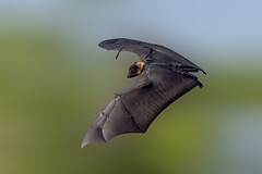 Do not bat... (chandra.nitin) Tags: animal bif bat bird deerpark flying greaterindianfruitbat indianflyingfox mammal nature outdoor pteropodidae pteropusgiganteus urban wildlife newdelhi delhi india