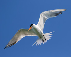 Royal Tern Inflight Hunting (dbadair) Tags: outdoor sky nature wildlife 7dm2 7d ii ef100400mm canon florida bird