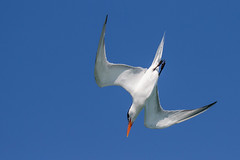 Royal Tern Diving (dbadair) Tags: outdoor sky nature wildlife 7dm2 7d ii ef100400mm canon florida bird