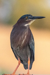 Little Green Heron (dbadair) Tags: outdoor sky nature wildlife 7dm2 7d ii ef100400mm canon florida bird