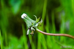 dandelion (PinoyFri) Tags: löwenzahn dandelion dientedeleón paardebloem 민들레 蒲公英 pissenlit makro macro nahaufnahme