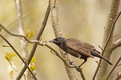 Quiscale bronzé / Common Grackle (alainmaire71) Tags: oiseau bird icteridae ictéridés quiscalusquiscula quiscalebronzé commongrackle nature quebec canada