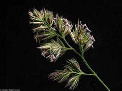 Schönheit der Natur - Blühender Halm (J.Weyerhäuser) Tags: grashalm halm heliconfocus makro stack studio wegrand wiese