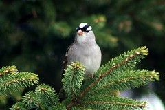 White-Crowned Sparrow On Spruce Branch In Backyard 008 - Zonotrichia Leucophrys (Chrisser) Tags: birds bird sparrows sparrow whitecrownedsparrows whitecrownedsparrow zonotrichialeucophrys nature ontario canada canoneosrebelt6i canonef75300mmf456iiiusmlens passerellidae