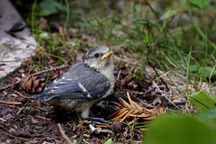 Junge Kohlmeise / great tit / parus major (Bernd Götz) Tags: jungekohlmeise jungvogel vogel meise