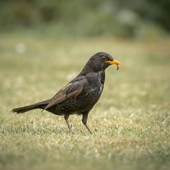 Blackbird (RICHARD STONE NATURE LAND) Tags: blackbird wildlife nikon d500 500f4 garden