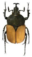 Ichnestoma stobbiai (dries.marais) Tags: